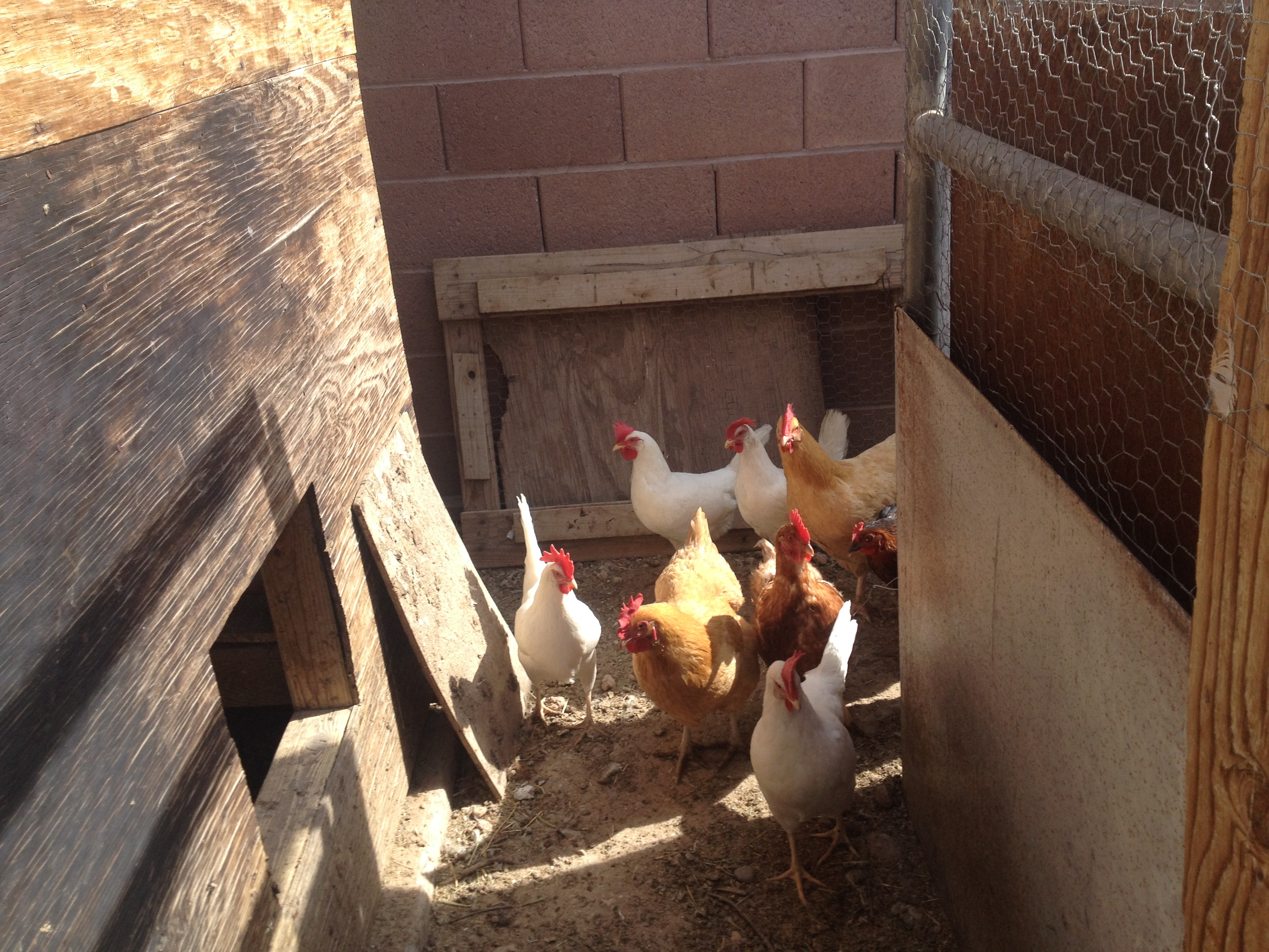 The Fales Family chickens